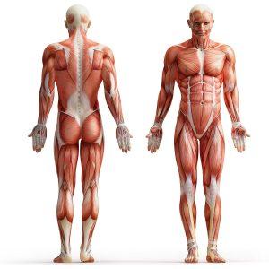 Мышечные группы человека